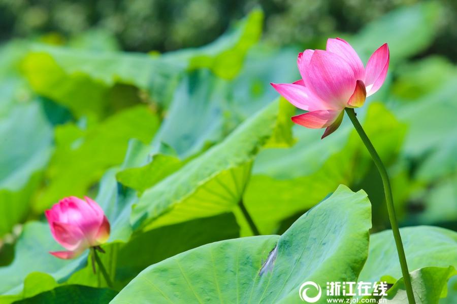Чарующие лотосы на озере Сиху города Ханчжоу