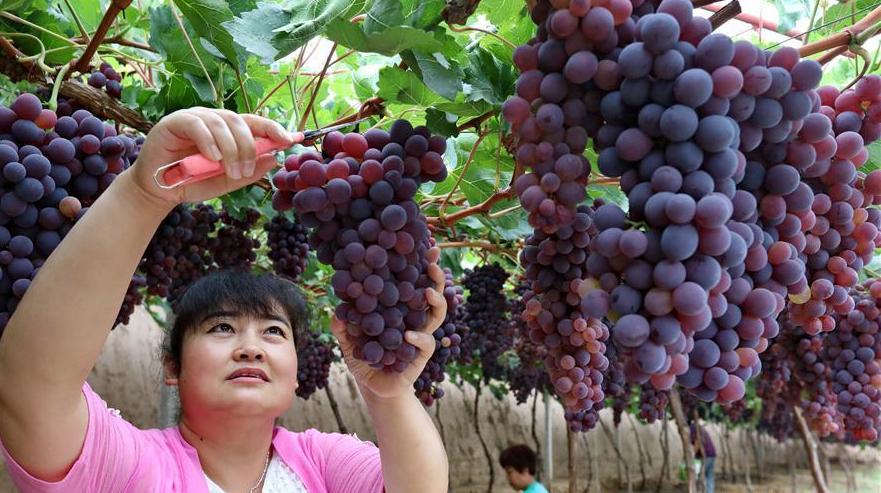 Уезд Хуайлай провинции Хэбэй: выращивание винограда принесло прибыль местным крестьянам