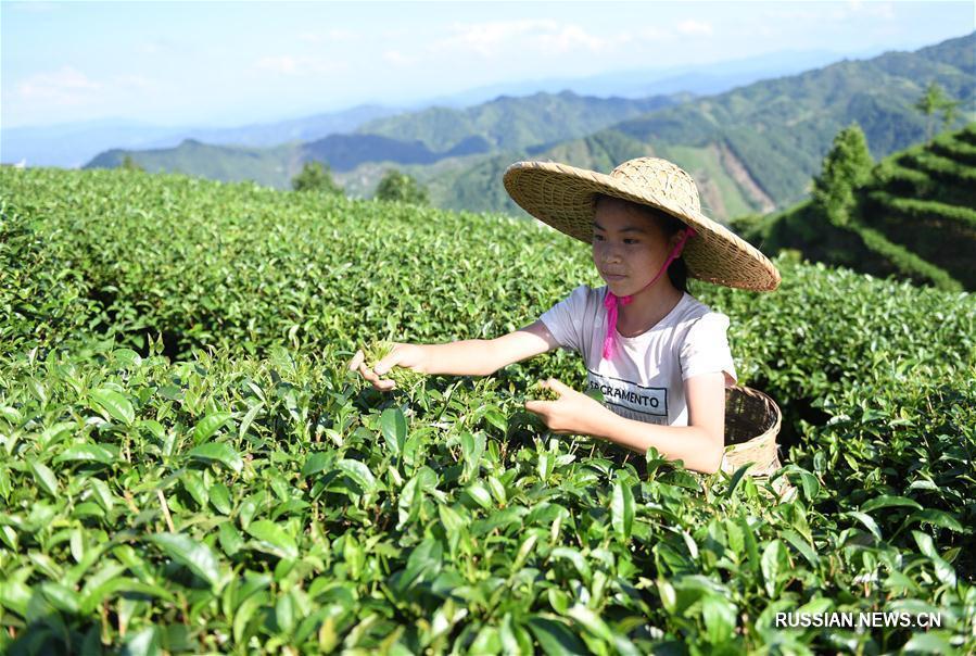 Сбор чайных листьев на юге Китая