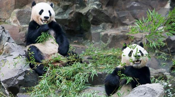 Панды из Ханчжоуского зоопарка празднуют трехлетие
