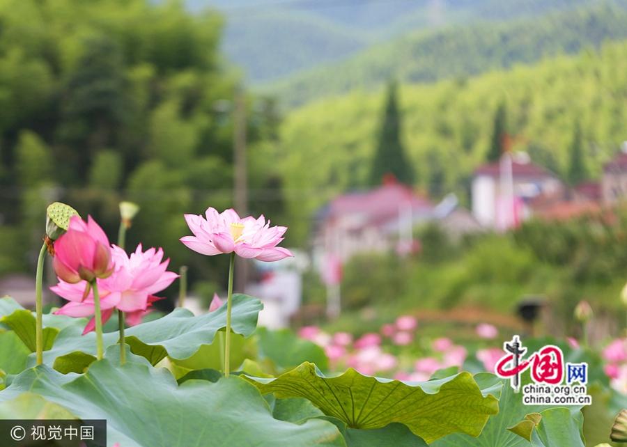 Цветущие лотосы в уезде Аньцзи провинции Чжэцзян привлекают туристов