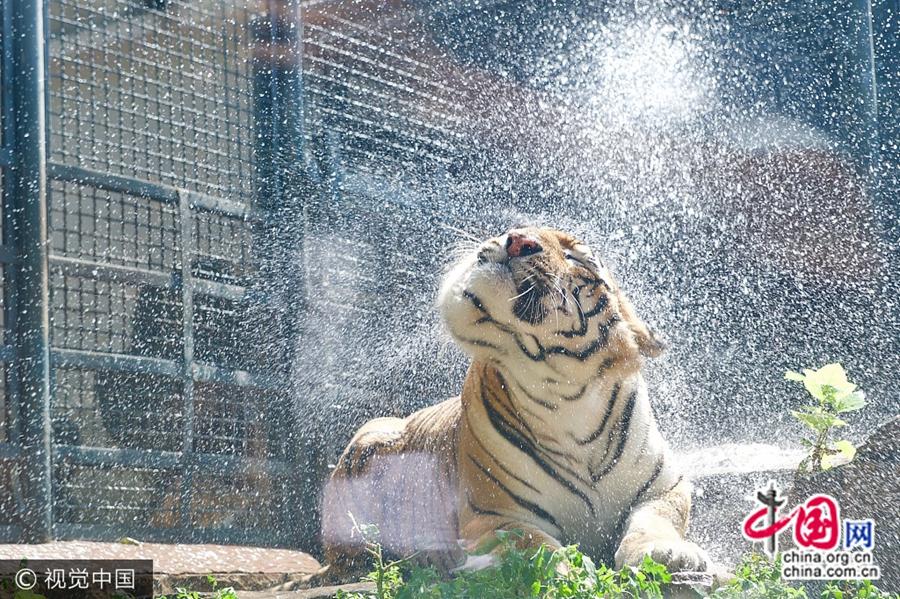 Город Цзинань: животные в зоопарке спасаются от жары