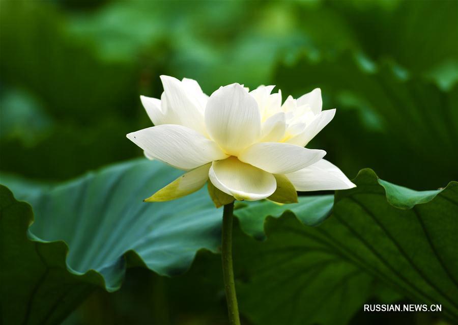 Цветение лотосов в Цзинане