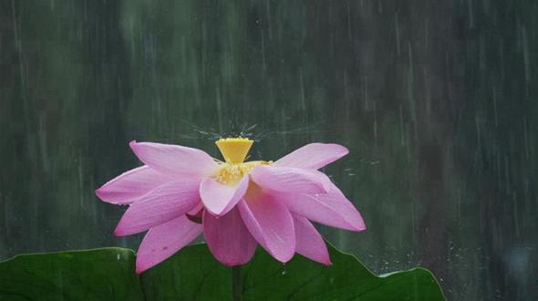 Лотосы под дождем