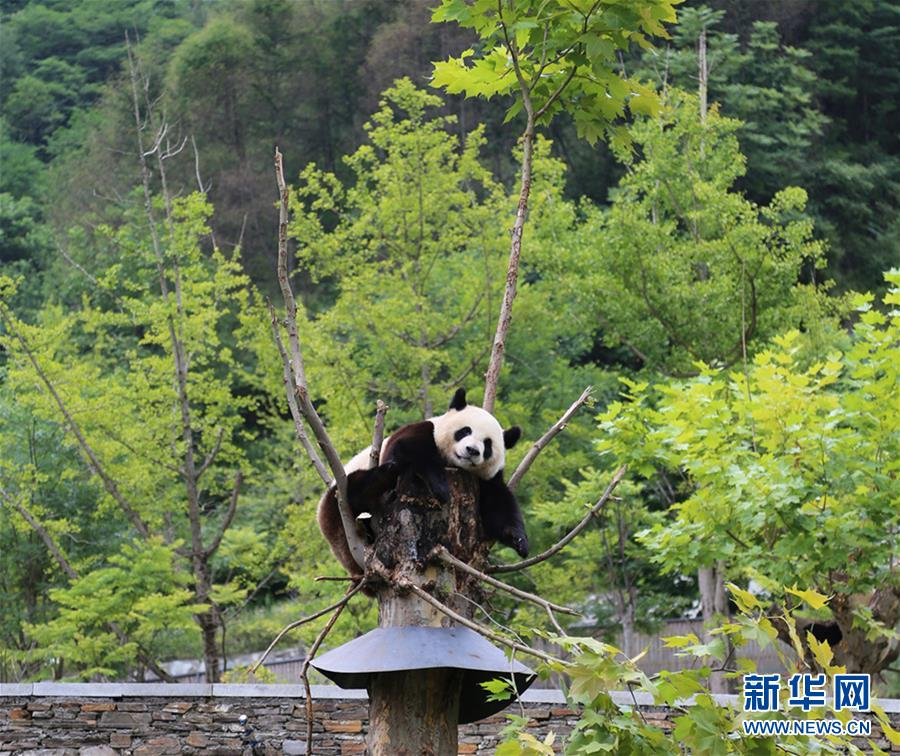 Панды из заповедника 'Волун' остались невредимыми после землетрясения в Цзючжайгоу