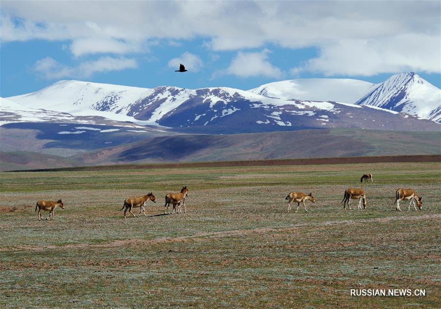 Случайные встречи с обитателями Цинхай-Тибетского нагорья