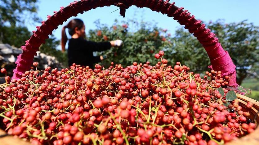 Сезон 'байлу' -- пора сбора урожая