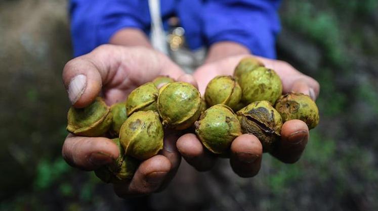 Сезон сбора орехов карии в провинции Чжэцзян