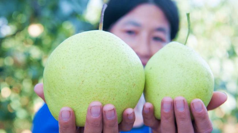 Урожай груш в уезде Чжаосянь