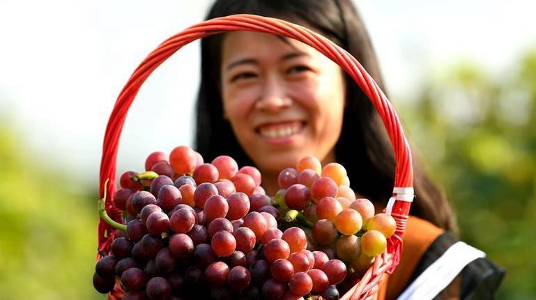 Урожай винограда в провинции Хэбэй