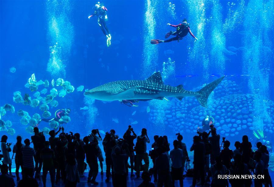 Китовые акулы в чжухайском океанариуме