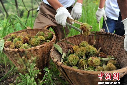 Пора начался сезон сбора урожая каштанов