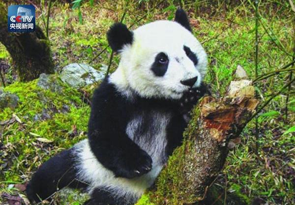 В Китае в возрасте 37 лет скончалась знаменитая панда Басы