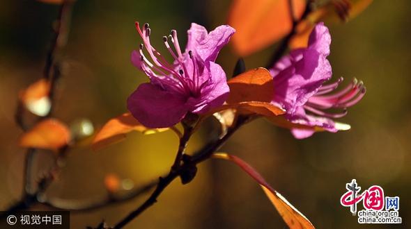 Хулун-Буир в период золотой осени: цветут азалии