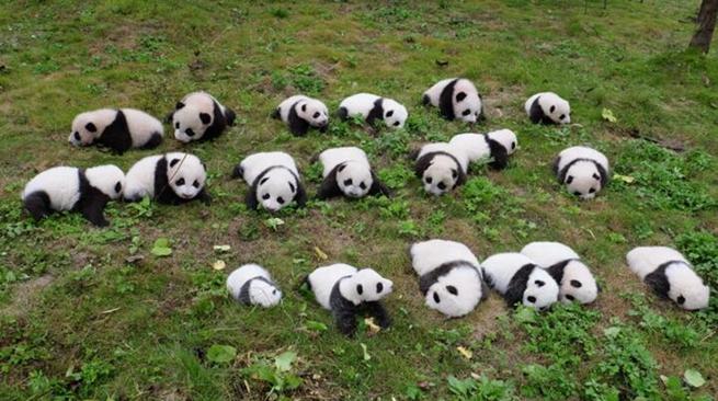 Как мило! 36 маленьких панд появились в провинции Сычуань