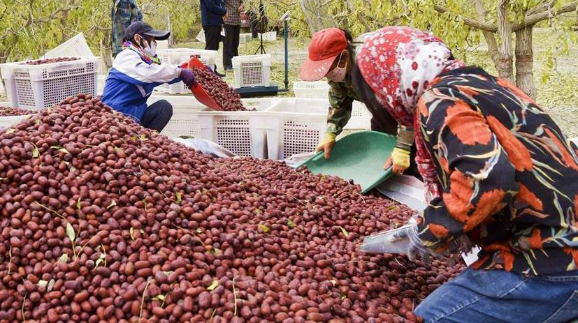 Урожай китайского красного финика собирают на северо-западе Китая