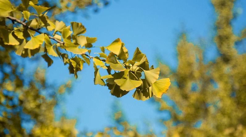 Золотые деревья гингко в глубокую осень