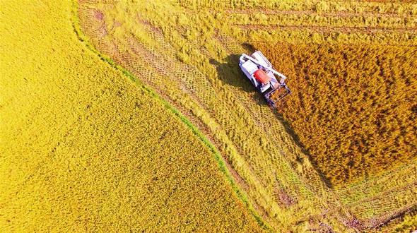 Золотистый урожай позднего риса на юге Китая