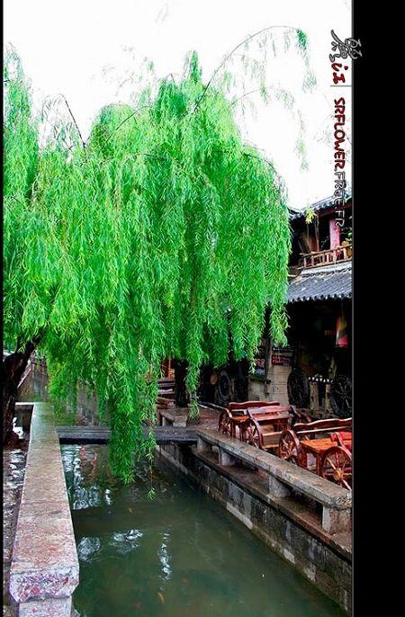 Lijiang , la temporada más espléndida 2