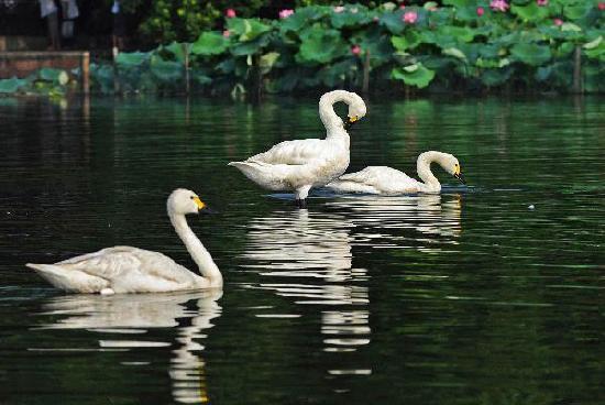 20 cisnes emigran zoológico Hangzhou Lago Oeste 5
