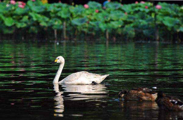 20 cisnes emigran del zoológico de Hangzhou al Lago del Oeste