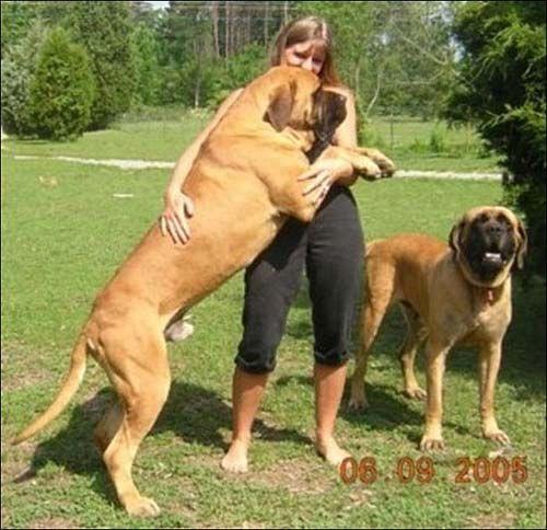 los perros mas grande del mundo