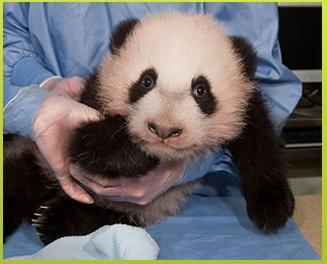 Pandas gigantes mundo 2