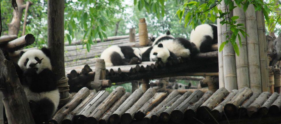 Pandas gigantes mundo 111
