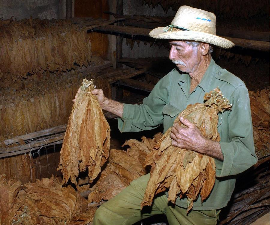 Proceso de producci�n de puros cubanos_Spanish.china.org.cn