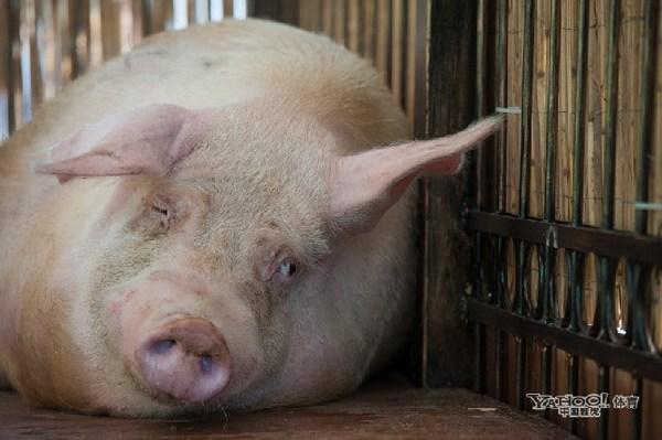 El cerdo Funtik apuesta por Rusia y Polonia