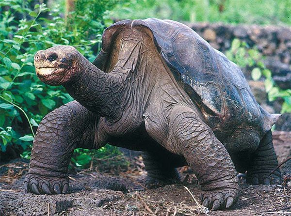 Muere la última tortuga gigante