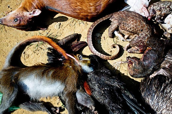 Documental: La Caza Ilegal De Los Animales Salvajes En