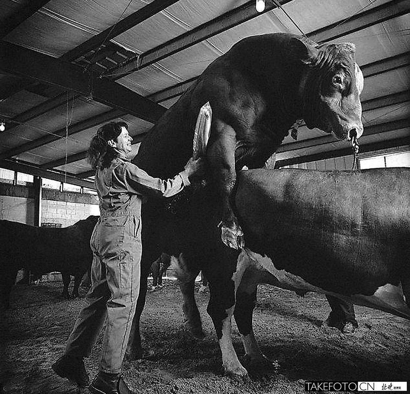 Coleccionar la esperma de los toros
