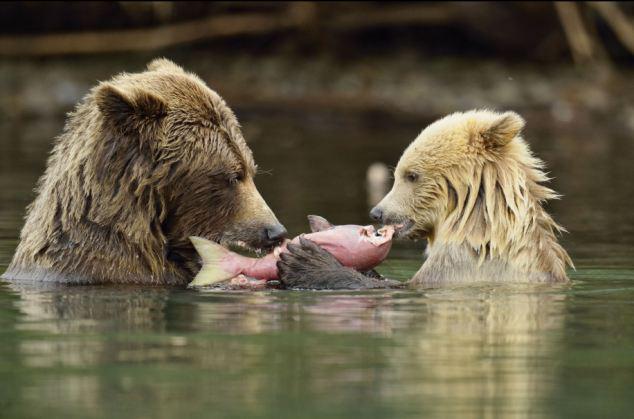 Mamá oso grizzly enseña a sus oseznos a cazar y pescar 4