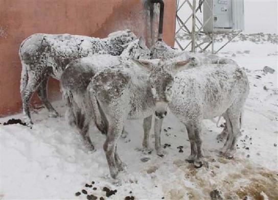 Increíble!Burros quedan congelados pero lograron sobrevivir en Turquía! 3
