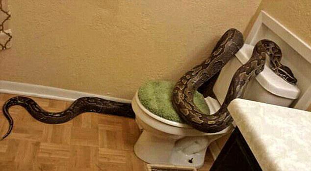 ¡Aterrador Serpiente pitón aparece en el baño de una