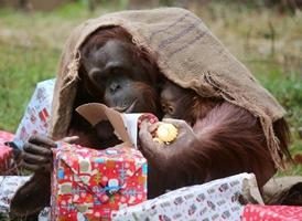 Gorilas abren sus regalos de la Navidad escondidas en un saco