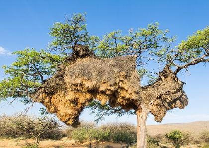 Increíbles nidos de pajaro de tamaño gigantesco