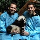 42 pandas viven fuera de China en otros 12 países