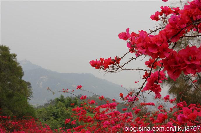 Mar de bugambilias en Meihailing, Xiamen, Fujian1
