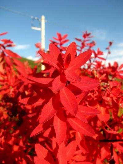 El otoño de Shangri-La es el mundo de Stellera chamaejasme