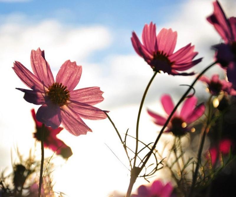 Shangri-La, provincia de Yunnan: flores de Gaisang, hadas de la tierra al sur de las nubes 1