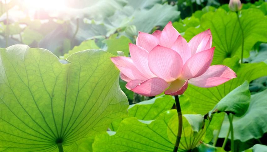 Lago Oeste de Hangzhou: lugar perfecto para contemplar las flores de loto 1