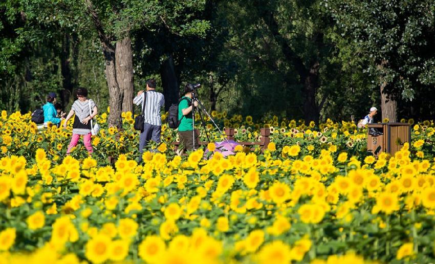 Parque Forestal Olímpico en verano: cientos de hectáreas de girasoles 1