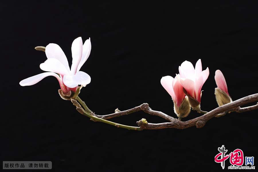 Marzo: floración deYulan1