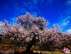 las flores de melocotón