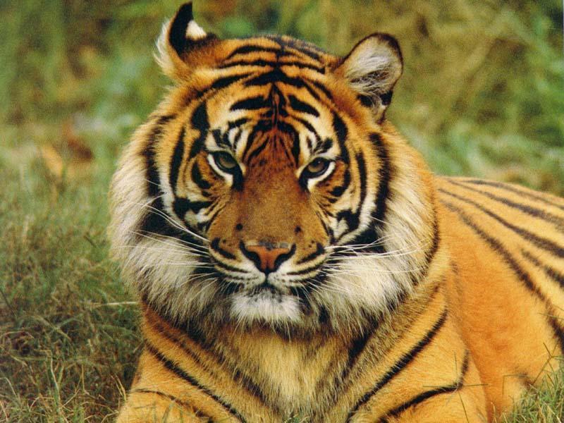 Fotos de tigres siberianos 100