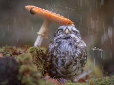 Una lechuza se esconde bajo un hongo como refugio contra la llovia