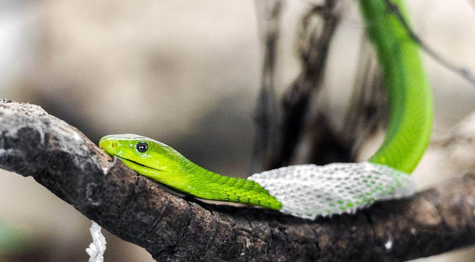 Serpiente mudando la piel