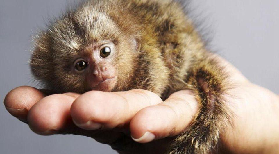 Mono más pequeño del mundo